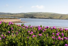 Stunning purple flowers with Tomales Bay and rolling hills as backdrop gallery image